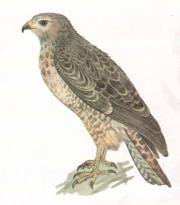 Click image for larger version  Name:hawk.jpg Views:39 Size:19.3 KB ID:215
