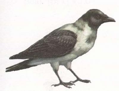 Click image for larger version  Name:crow.jpg Views:36 Size:10.3 KB ID:217