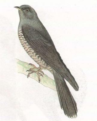 Click image for larger version  Name:cuckoo.jpg Views:36 Size:16.2 KB ID:218