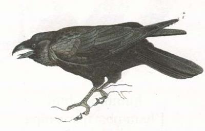 Click image for larger version  Name:raven.jpg Views:38 Size:12.1 KB ID:219