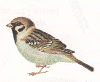 Name:  sparrow.jpg Views: 18 Size:  9.3 KB