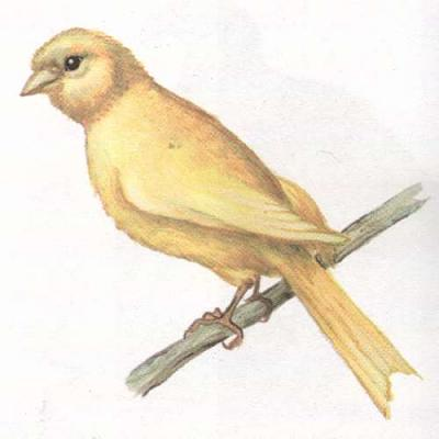 Click image for larger version  Name:canary.jpg Views:39 Size:16.6 KB ID:224