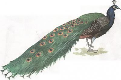 Click image for larger version  Name:peacock.jpg Views:41 Size:46.6 KB ID:227