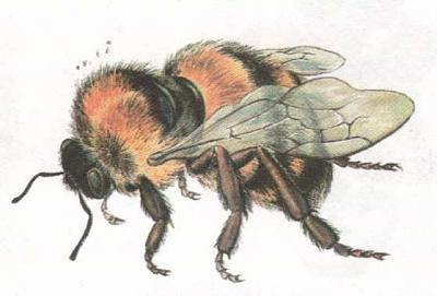Click image for larger version  Name:bee.jpg Views:40 Size:20.4 KB ID:237