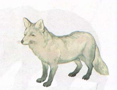 Click image for larger version  Name:arctic fox.jpg Views:93 Size:17.1 KB ID:181