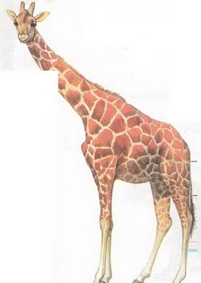 Click image for larger version  Name:giraffe.jpg Views:95 Size:29.6 KB ID:189