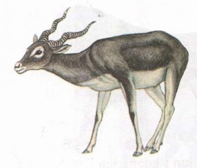 Click image for larger version  Name:antelope.jpg Views:85 Size:17.4 KB ID:195