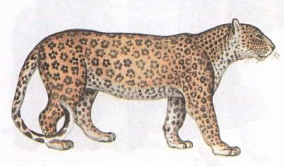 Click image for larger version  Name:leopard.jpg Views:108 Size:28.4 KB ID:198