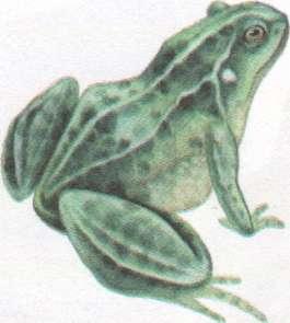 Name:  frog.jpg Views: 50 Size:  9.7 KB