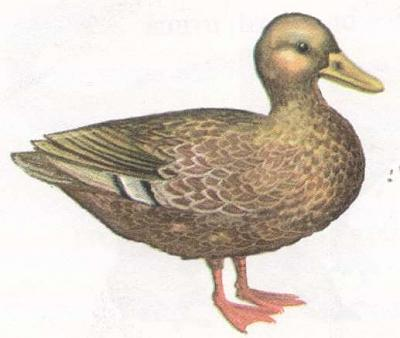 Click image for larger version  Name:duck.jpg Views:95 Size:19.8 KB ID:211