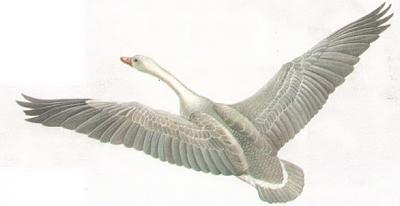 Click image for larger version  Name:goose.jpg Views:88 Size:39.2 KB ID:213