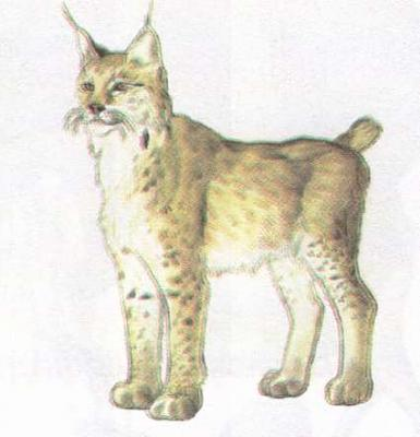 Click image for larger version  Name:lynx.jpg Views:87 Size:17.2 KB ID:177