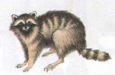 Click image for larger version  Name:racoon.jpg Views:88 Size:15.7 KB ID:178