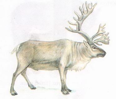 Name:  reindeer.jpg Views: 87 Size:  31.9 KB