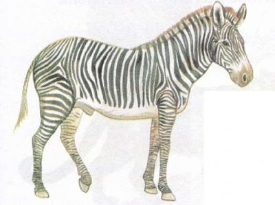 Click image for larger version  Name:zebra.jpg Views:95 Size:23.8 KB ID:192