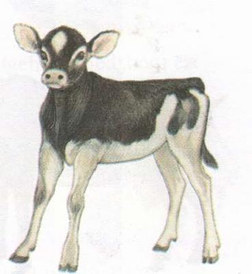 Click image for larger version  Name:calf.jpg Views:109 Size:16.6 KB ID:163