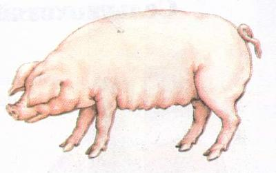 Click image for larger version  Name:pig.jpg Views:120 Size:16.3 KB ID:171