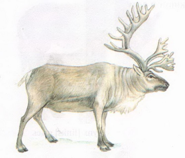 Name:  reindeer.jpg