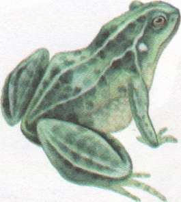 Name:  frog.jpg
